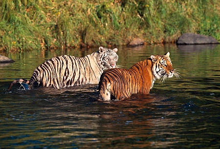 TGR 01 RK0116 01 © Kimball Stock Two Bengal Tigers Standing In Water Looking Back Grass Background