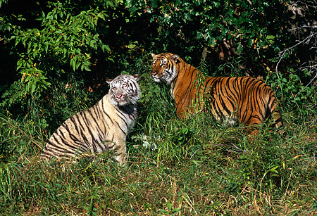 TGR 01 RK0122 04 © Kimball Stock Two Bengal Tigers Standing Together In Grass Field By Trees