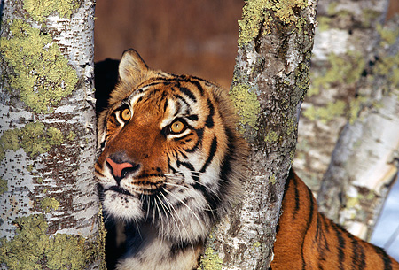 TGR 01 RK0126 02 © Kimball Stock Head Shot Of Bengal Tiger Sticking Its Head In Between Fork Of Tree Branch