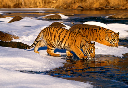 TGR 01 RK0132 08 © Kimball Stock Two Bengal Tigers Drinking From River In Winter