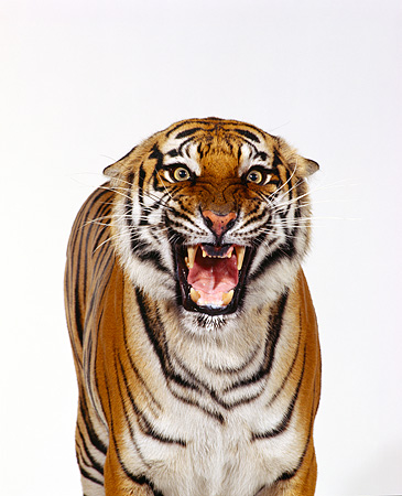 TGR 01 RK0199 09 © Kimball Stock Close Up Shoulder Shot Of Bengal Tiger Standing Facing Camera Growling On White Seamless
