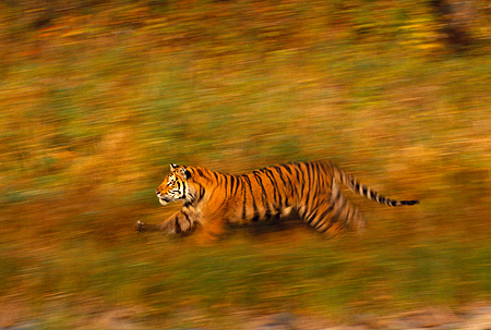 TGR 01 RK0217 04 © Kimball Stock Profile Of Bengal Tiger Running On Through Grass Blurry Background
