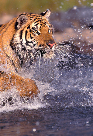 TGR 01 RK0265 07 © Kimball Stock Close Up Of Bengal Tiger Splashing In Water