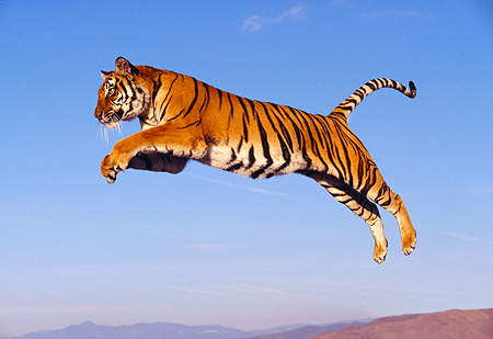 TGR 01 RK0309 30 © Kimball Stock Bengal Tiger Leaping Blue Sky