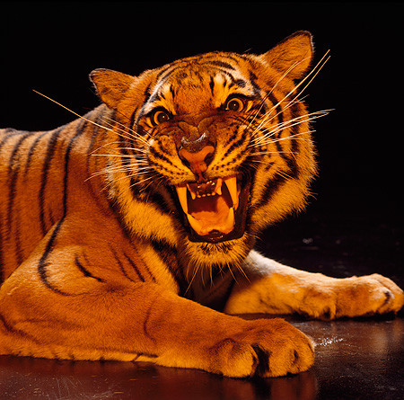 TGR 01 RK0354 25 © Kimball Stock Shoulder Shot Of Tiger Laying On Floor Snarling At Camera Studio
