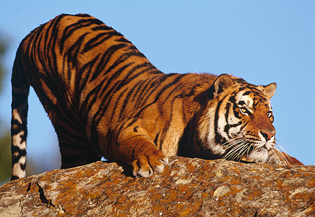 TGR 01 RK0400 05 © Kimball Stock Tiger Stretching On Rock Blue Sky