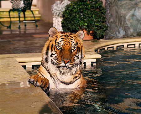 TGR 01 RK0462 01 © Kimball Stock Head Shot Of Tiger In Pool