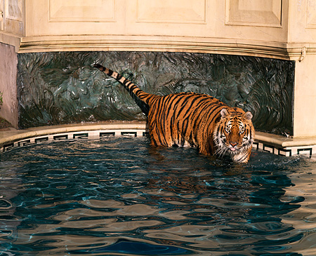 TGR 01 RK0464 25 © Kimball Stock Tiger Standing In Pool