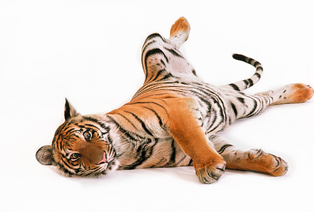 TGR 01 RK0469 01 © Kimball Stock Bengal Tiger Laying On Side Stretching On White Seamless
