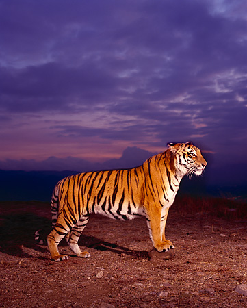 TGR 01 RK0489 02 © Kimball Stock Double Exposure Profile Of Bengal Tiger Standing On Dirt At Dusk