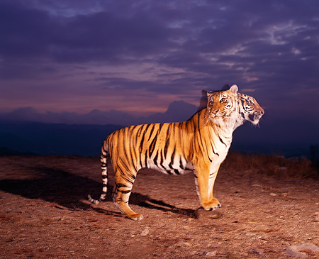TGR 01 RK0489 03 © Kimball Stock Double Exposure Profile Of Bengal Tiger Standing On Dirt At Dusk