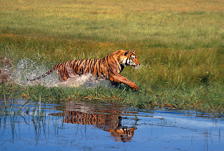 TGR 01 RK0496 12 © Kimball Stock Bengal Tiger Running In Marsh