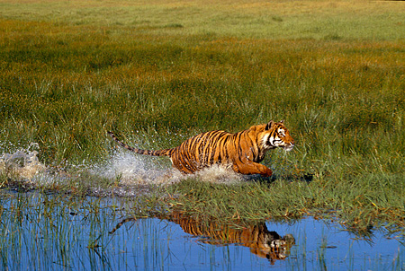 TGR 01 RK0496 32 © Kimball Stock Bengal Tiger Running In Marsh