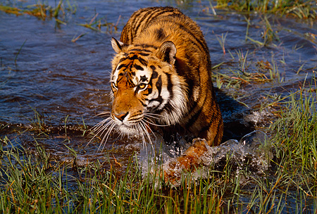TGR 01 RK0499 09 © Kimball Stock Bengal Tiger Walking Through Water