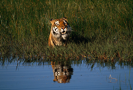 TGR 01 RK0499 17 © Kimball Stock Bengal Tiger Walking Through Water