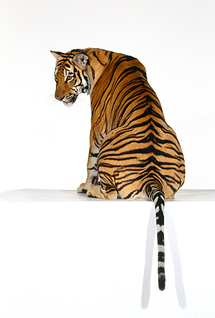 TGR 01 RK0527 08 © Kimball Stock Bengal Tiger Sitting With Back Turned On White Seamless Background