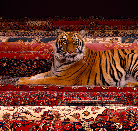 TGR 01 RK0534 59 © Kimball Stock Bengal Tiger Laying On Oriental Rugs