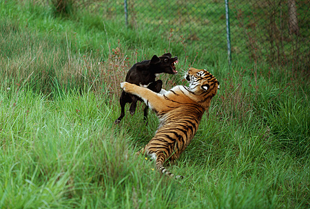 TGR 01 RK0558 04 © Kimball Stock Bengal Tiger And Black Dog Playing In Tall Grass