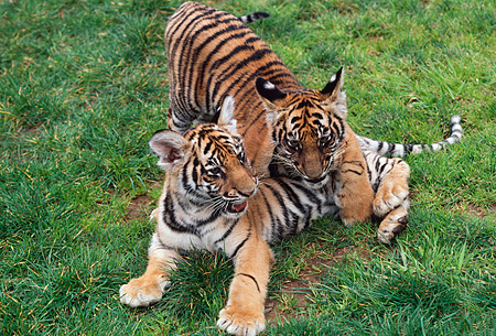 TGR 01 RK0570 15 © Kimball Stock Bengal Tiger Cubs On Grass
