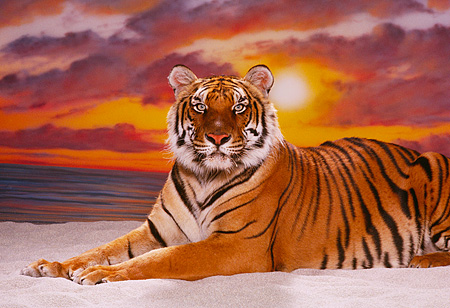 TGR 01 RK0588 09 © Kimball Stock Bengal Tiger Laying On Sand Sunset Background