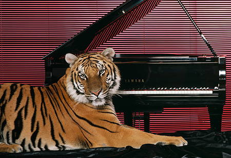 TGR 01 RK0594 08 © Kimball Stock Bengal Tiger Laying In Front Of Grand Piano Red Blinds Background