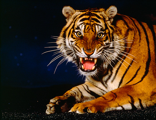 TGR 01 RK0600 01 © Kimball Stock Shoulder Shot Of Bengal Tiger Snarling At Camera Studio