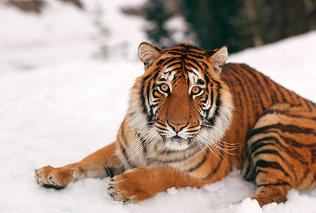 TGR 01 RK0643 26 © Kimball Stock Bengal Tiger Laying In Snow Tree Trunks
