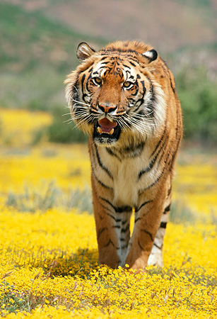 TGR 01 RK0655 31 © Kimball Stock Bengal Tiger Standing On Yellow Flower Field Facing Camera