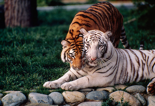 TGR 01 RK0671 02 © Kimball Stock Copper Bengal Tiger Nuzzling White Bengal Tiger
