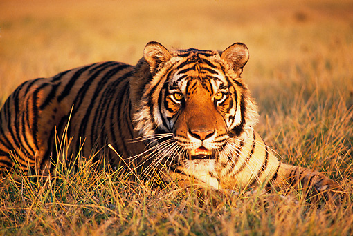 TGR 01 RK0695 34 © Kimball Stock Head Shot Of Bengal Tiger Laying In Dry Grass Field At Dusk