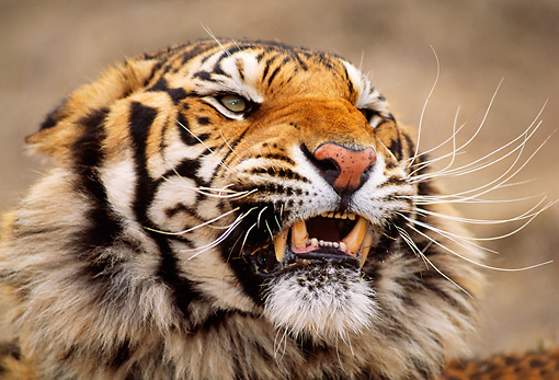 TGR 01 RW0002 01 © Kimball Stock Head Shot Of Bengal Tiger Growling