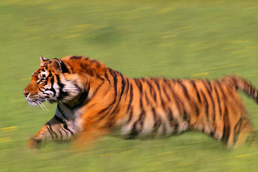 TGR 01 TL0001 01 © Kimball Stock Profile Shot Of Bengal Tiger Running On Grass
