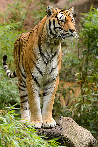 TGR 02 AC0007 01 © Kimball Stock Siberian Tiger Standing On Log By Water