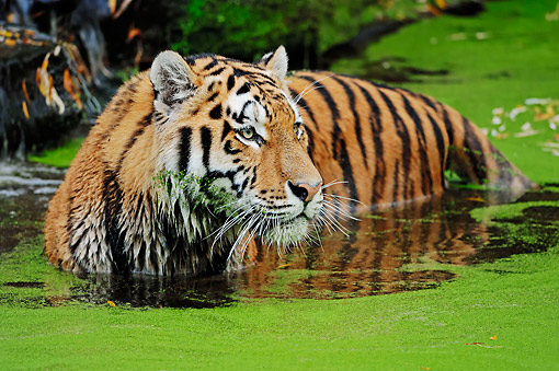 TGR 02 AC0008 01 © Kimball Stock Siberian Tiger Standing In Water
