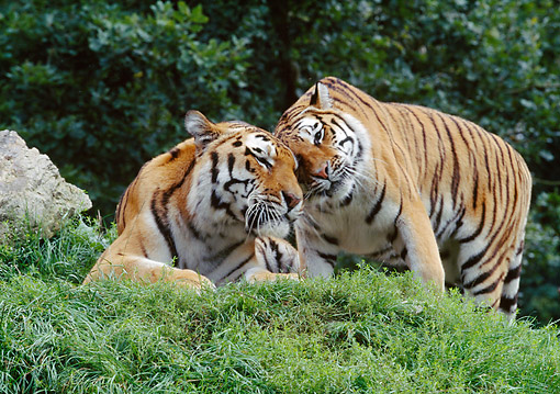 TGR 02 GL0003 01 © Kimball Stock Two Siberian Tigers Nuzzling On Grass