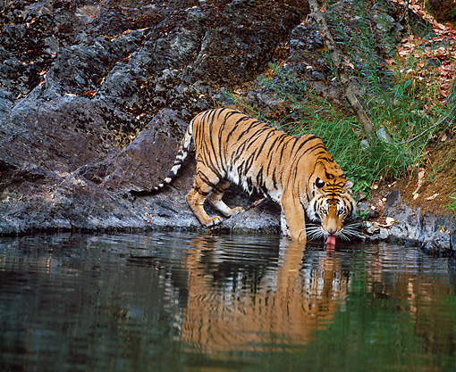 TGR 02 JZ0001 01 © Kimball Stock Siberian Tiger Drinking From Creek In Forest