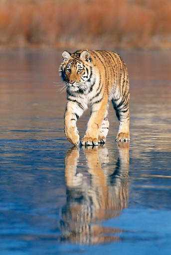 TGR 02 KH0014 01 © Kimball Stock Siberian Tiger Walking On Iced Lake