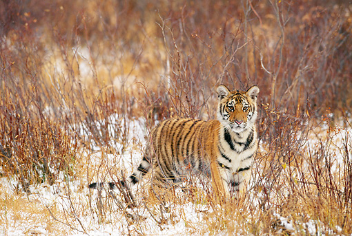 TGR 02 KH0016 01 © Kimball Stock Young Siberian Tiger Standing In Sticks And Snow