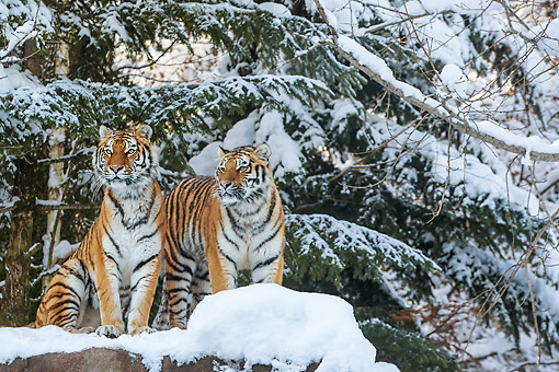TGR 02 KH0018 01 © Kimball Stock Two Siberian Tigers On Snow Covered Rocks