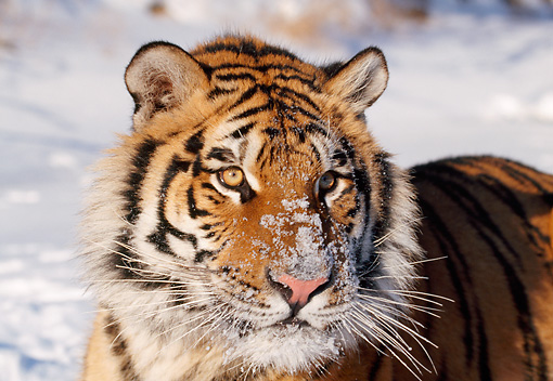 TGR 02 LS0010 01 © Kimball Stock Close-Up Of Siberian Tiger In Snow