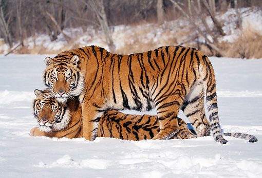 TGR 02 LS0011 01 © Kimball Stock Two Siberian Tigers Mating In Snow