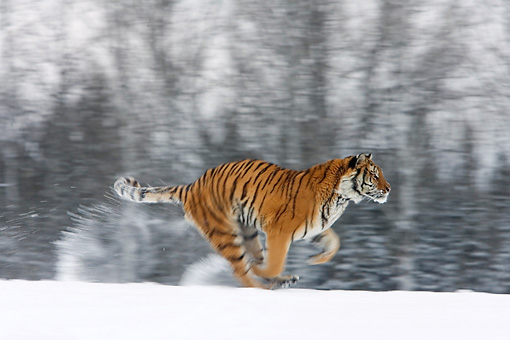 TGR 02 KH0004 01 © Kimball Stock Siberian Tiger Running In Snow