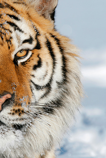 TGR 02 KH0008 01 © Kimball Stock Close-Up Of Siberian Tiger In Snow