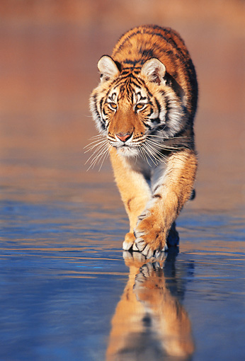 TGR 02 KH0012 01 © Kimball Stock Siberian Tiger Walking On Beach