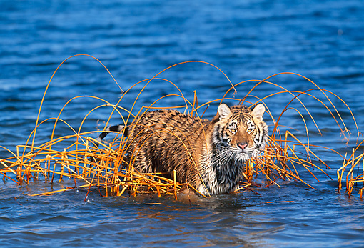 TGR 02 KH0013 01 © Kimball Stock Siberian Tiger Standing In Reeds In Lake
