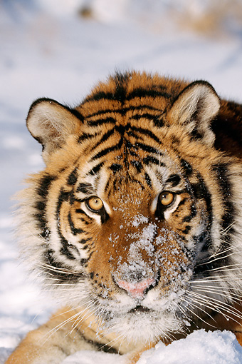 TGR 02 LS0004 01 © Kimball Stock Portrait Head Shot Of Siberian Tiger Laying On Snow