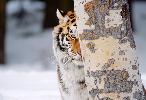 TGR 02 LS0005 01 © Kimball Stock Portrait Head Shot Of Siberian Tiger Hiding Behind Tree In Snow