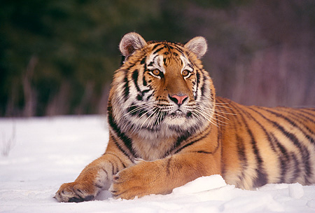 TGR 02 RK0015 18 © Kimball Stock Siberian Tiger Laying In Snow Facing Camera Mouth Open Montana