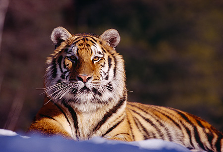 TGR 02 RK0025 01 © Kimball Stock Siberian Tiger Laying On Snow Facing Camera Trees Background