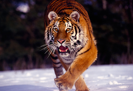 TGR 02 RK0029 05 © Kimball Stock Siberian Tiger Running Towards Camara On Snow